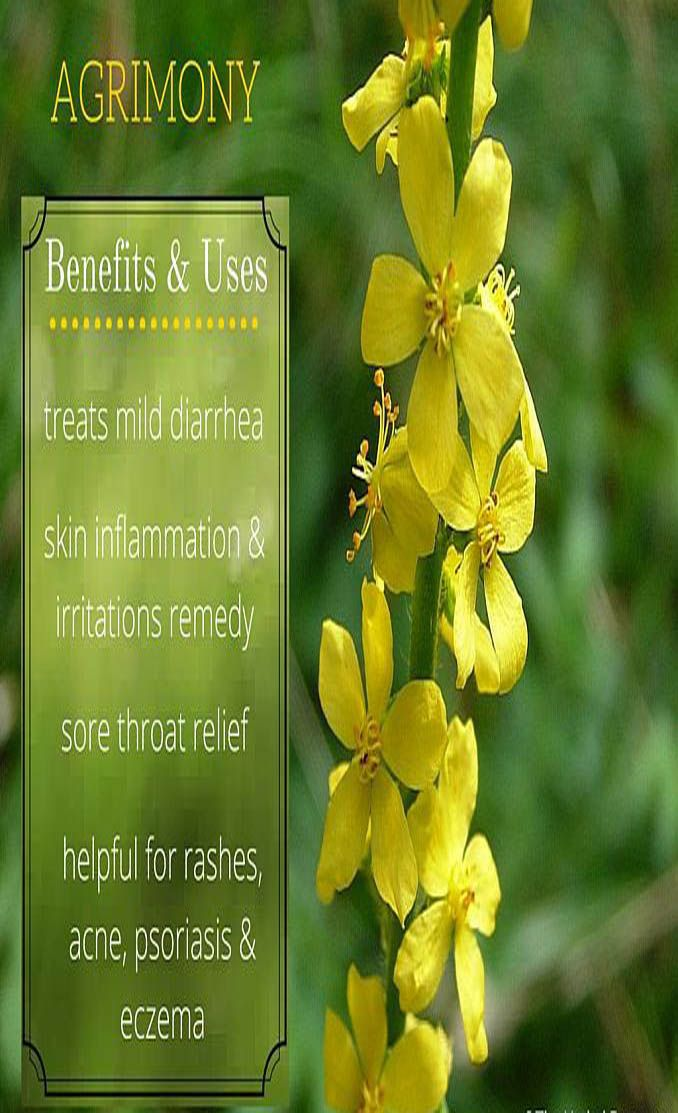 Agrimony Herb Health Benefits And Side Effects Small Yellow
