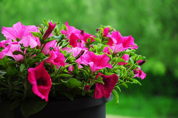 Surfinia, fot. pixabay #rośliny #kwiat #gatunki #ogrody #ogród #kwiatki #roślinność #natura #tapeta #łąka #flower #impianto #fiore #bello #rosa #colore #fragrante #nature #flowers #green #colorful #wallpaper #photos #pretty #surfinia