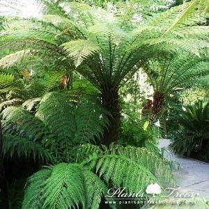 Palm Trees for sale, Buy Palms, Hardy Palms Online, Yucca, Cordyline and more - Plants & Trees Online