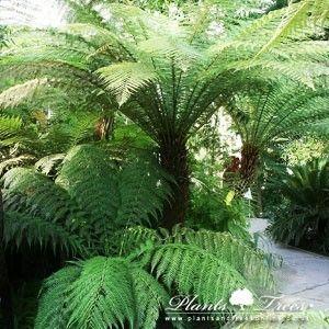 Dicksonia Antarctica (Australian Tree Fern) - Plants  Trees Online