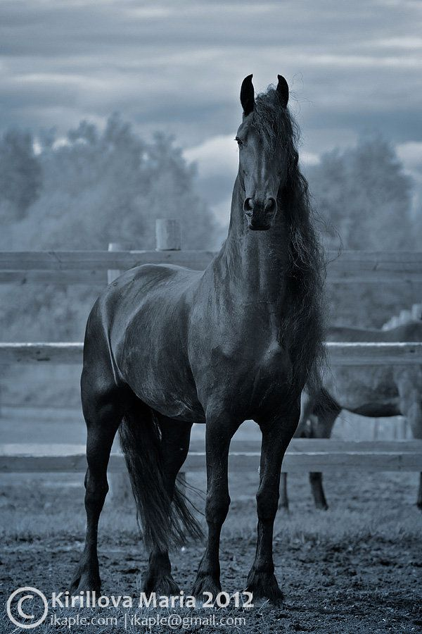 Spainish breed one of the most beautiful horses I've ever seen.
