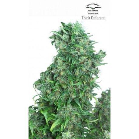 #semillas de #marihuana #Think #Different #Autoflorecientes - #DutchPassion