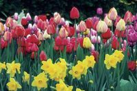 How to Force Tulip Bulbs in Water | eHow