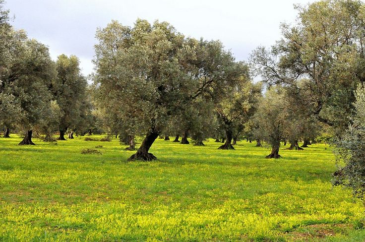 aprile tra gli ulivi