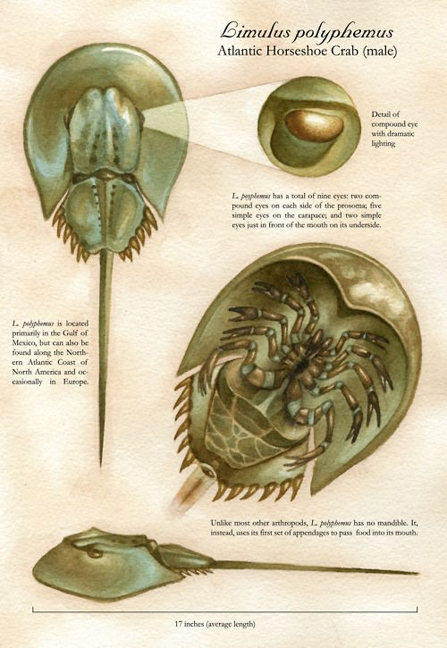 """""""Cangrejo Cacerola"""" Horseshoe crabs eyes are used to help us to understand how our eyes work due to their simpler structure. By studying circadian clocks and photo receptors horseshoe crabs help us to learn why vision worsens with age."""