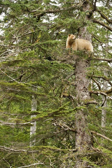Spirit bear in tree The Kermode Bear (Ursus americanus kermodei) is one of the rarest bears in the world. It is a black bear that has a creamish-white fur which is produced by a recessive gene. It lives principally in the central and north coast of British Columbia in Canada.   Great Bear Rainforest - British Columbia - Canada