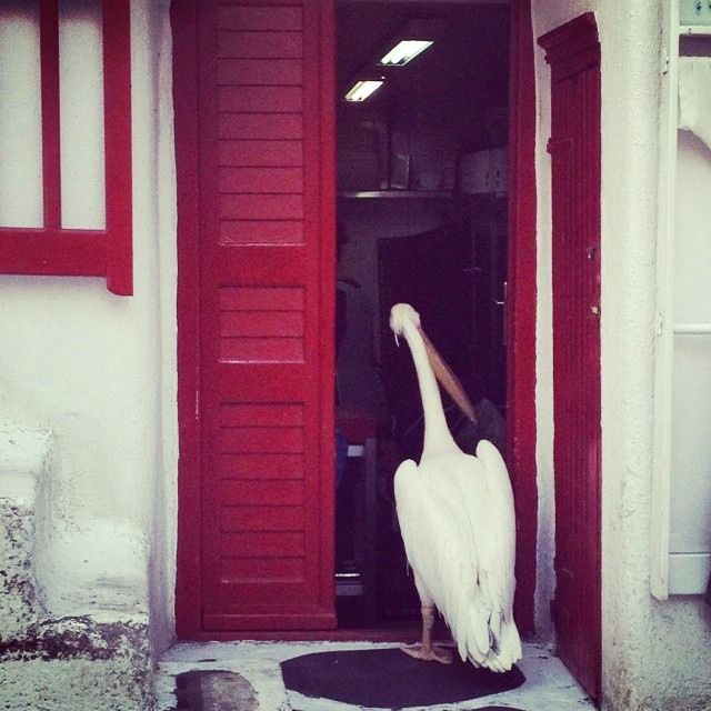Τhe #mascot of Mykonos has #morning #curiosity!!! You wonder what it will be?   #love #happy #fun #friend #pelican #kaluamykonos #mykonos