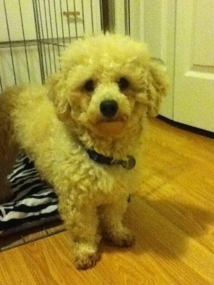 Fonzie. Poodle (Puppy mill survivor) 2 yo. 13 lb.  Available for adoption