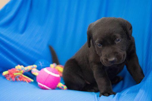 Labrador Retriever Puppy For Sale In Kent Oh Adn 62518 On Puppyfinder Com Gender Male Age 5 Weeks O Labrador Retriever Labrador Retriever Puppies Labrador