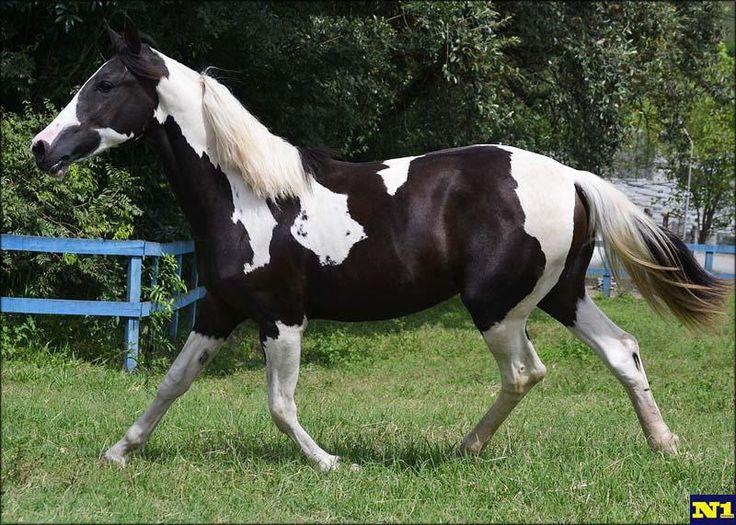 Mangalarga compra e venda de cavalo no N1 do mercado de cavalos raça pampa. Pampa breed