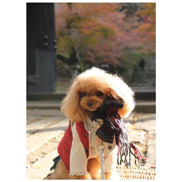 2017.11.28🍁 * 紅葉狩り🍁pic📸ラスト✨ * お付き合い頂きありがとうございます😊💕 * 今週もよろしくお願いします( ⸝⸝•ᴗ•⸝⸝ )੭⁾⁾ * * * * * #福岡 #秋月  #トイプードル #トイプードル部 #トイプードル大好き #頑張れ英奈  #愛犬  #犬バカ部 #ティーカッププードル  #ワンコなしでは生きて行けません会  #dog #dogsofig #toypoodles #poodle_feature  #Instagram #poodles #poodlelove #poodlesofinstagram #mypet  #instadog #cutedog #doglove  #instapoodle  #ig_dogphoto #all_dog_japan #west_dog_japan #todayswanko #inutokyo #top_poodle_cute