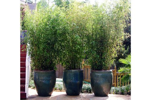 potted bamboo privacy screening pot plants pinterest