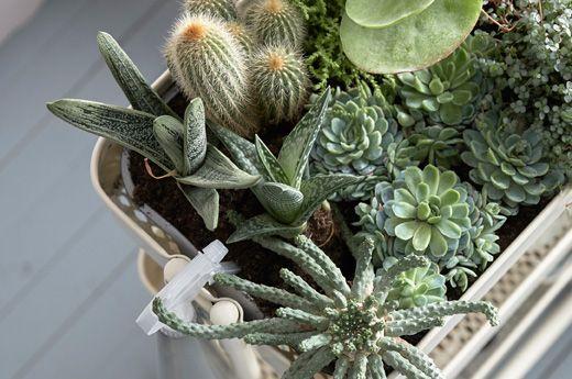 RÅSKOG roltafel gebruikt als een tuintje voor binnen, boordevol vetplantjes en cactussen (ovenschotel onder plaatsen om water op te vangen)