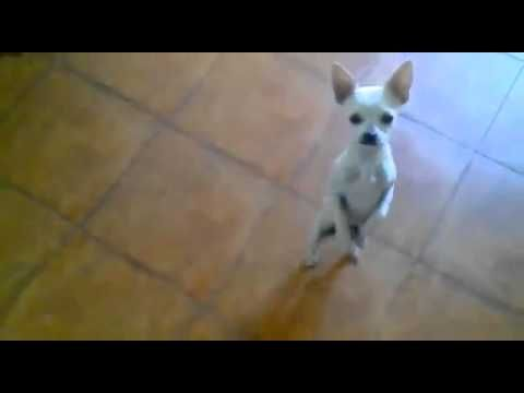 chihuahua dancing salsa 26 best images about perros bailarines on pinterest 4607
