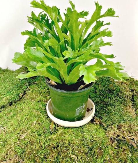 Pinterestteki 25den fazla en iyi Types of ferns fikri