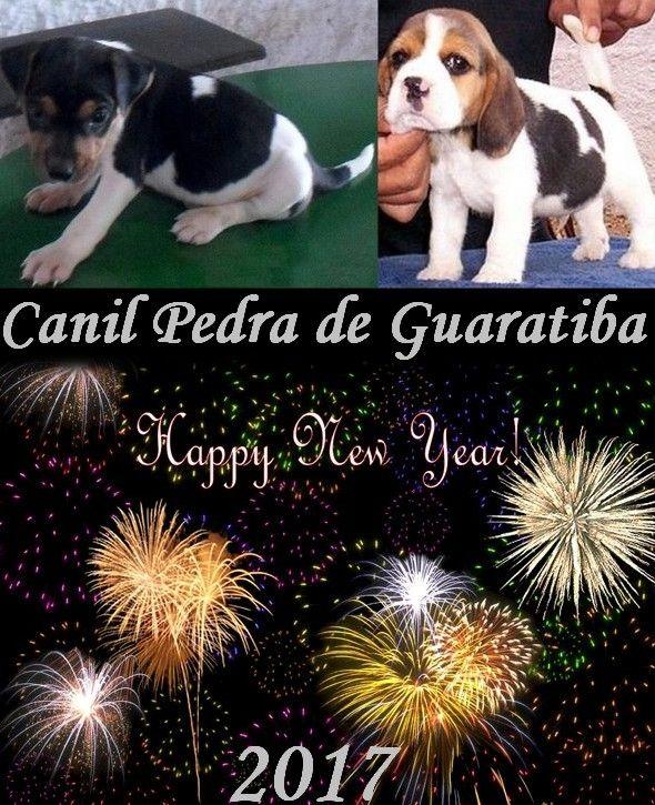 BEAGLE CANIL PEDRA DE GUARATIBA Desde 1990 - FELIZ 2017! Site: http://www.canilpguaratiba.com #canilpedradeguaratiba #beaglecanilpedradeguaratiba #beagle