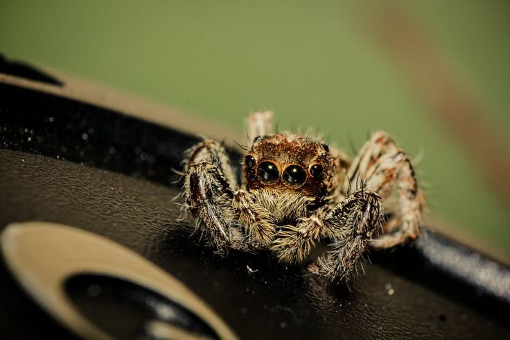 #FactOfTheDay for #Kids: #Tarantulas and other #spiders sense vibration with hairs on their legs #bugs #science http://learnwithnoni.com/fact-day-spidey-senses/