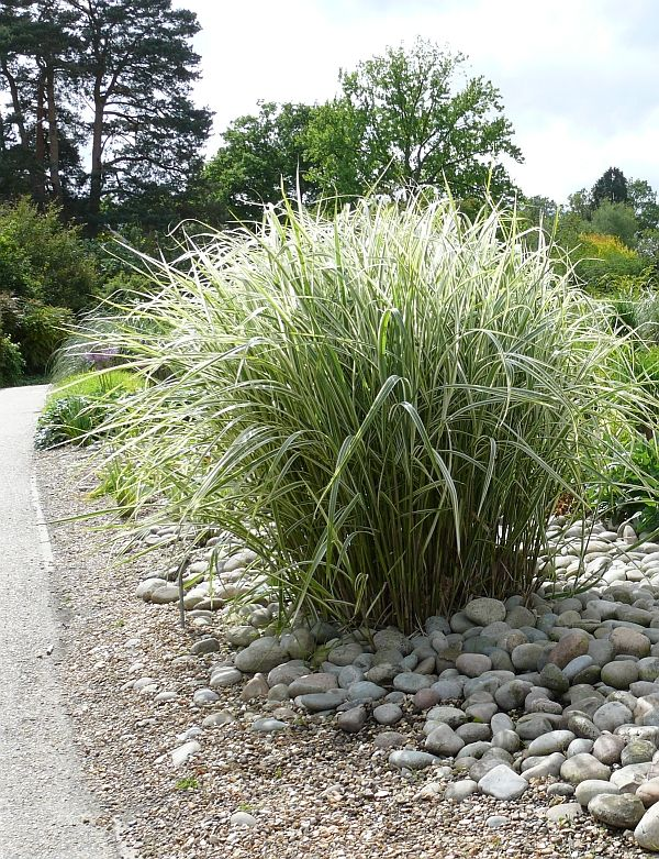 197 best ornamental grasses images on pinterest garden for Maiden grass landscaping ideas