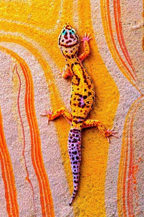 Una fase alucinante de un Gecko leopardo. Si quieres tener uno mira como…