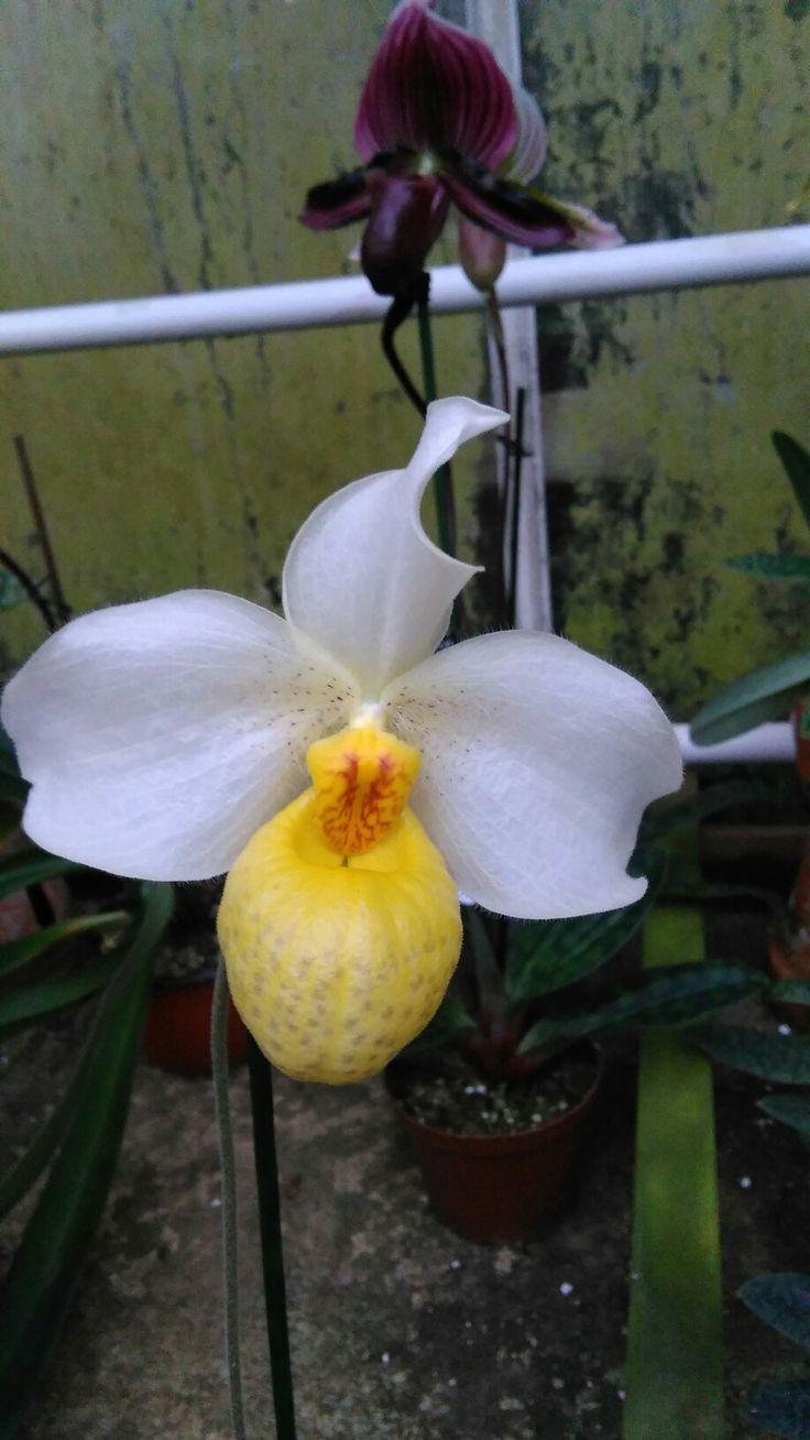 Paphiopedilum emersonii hybrid