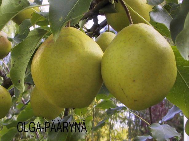Pear tree 'Olga'