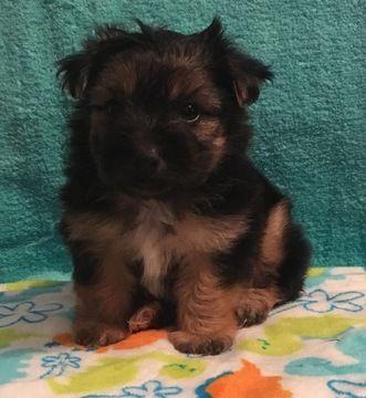 Morkie Puppy For Sale In Clay City Ky Adn 34114 On Puppyfinder