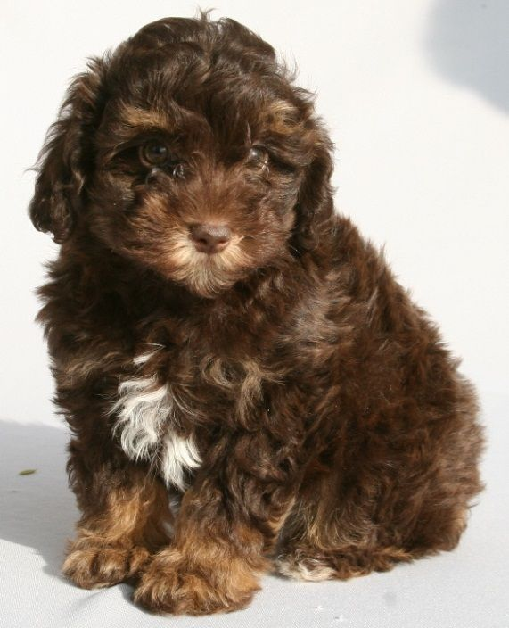 Size Coats Schnoodle Puppies For Sale Dominoschnoodles Schnoodle Puppy Schnoodle Puppies For Sale Snoodle Puppies