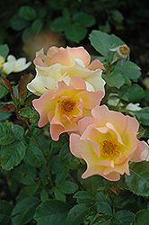 Morden Sunrise Rose - zone 3, would be suited to the front of the bed (24 inch height, 3 foot spread)