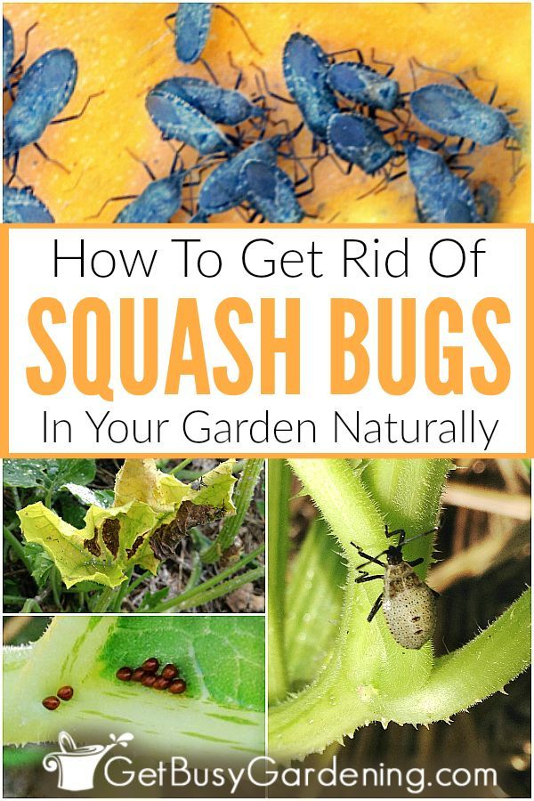 How To Get Rid Of Squash Bugs Without Chemicals