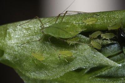 Astuce contre les pucerons: plantez une gousse d'ail au pied de votre rosier et en quelques jours les colonies de pucerons ont disparu comme par enchantement.