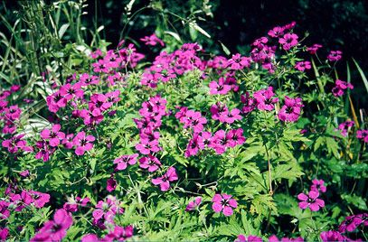 Geranium psilostemon is an herbaceous perennial forming a large clump of lobed leaves, tinted red in autumn. Flowers 4cm in width, magenta-crimson with black centres, on upright stems to 1.2m. Clump-forming and hardy. Grow in any moderately fertile soil apart from waterlogged soils. Full sun or partial shade is best but shade is tolerated. Quite a tall species so may need support to prevent it flopping.