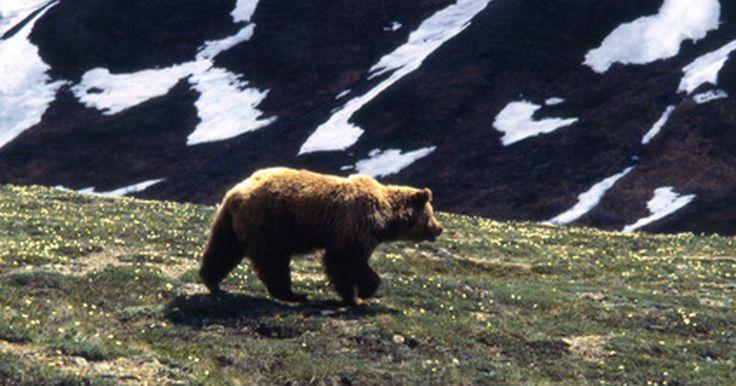 ¿Cuánto tiempo hibernan los osos grises?. La hibernación, un largo periodo de sueño durante los meses que dura el invierno, es una de las cosas más fascinantes que hacen los animales salvajes. Los osos grises son una de las muchas especies que hibernan y puede ser interesante comprender el tiempo que ellos duermen y sus modelos de hibernación.
