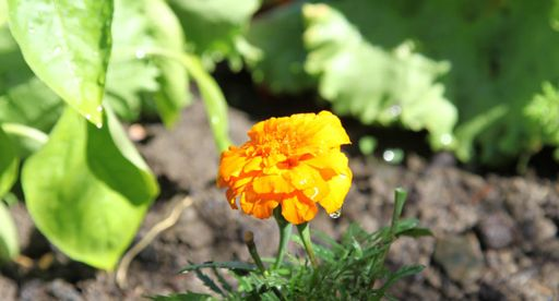 Tui Garden   Companion Planting Guide