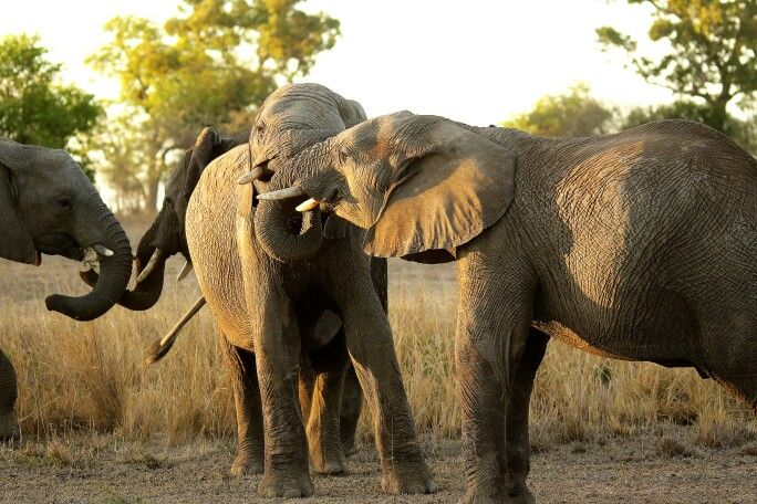 Two sets of young elephant bulls playing around.