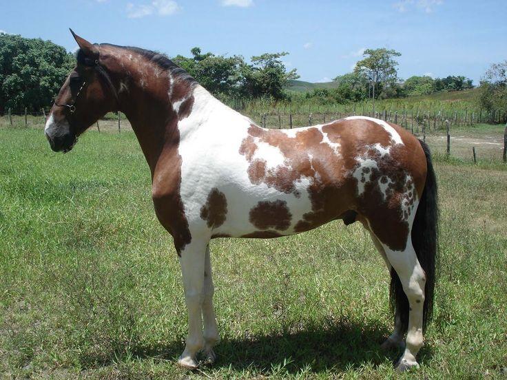 bay tobiano - Campolina stallion Esteio da Hibipeba