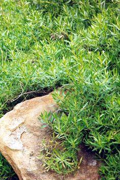 Myoporum species…easy from cuttings Geraldton locals = Myoporum caprarioides Myoporum insulare Myoporum montanum (non are threatened species)