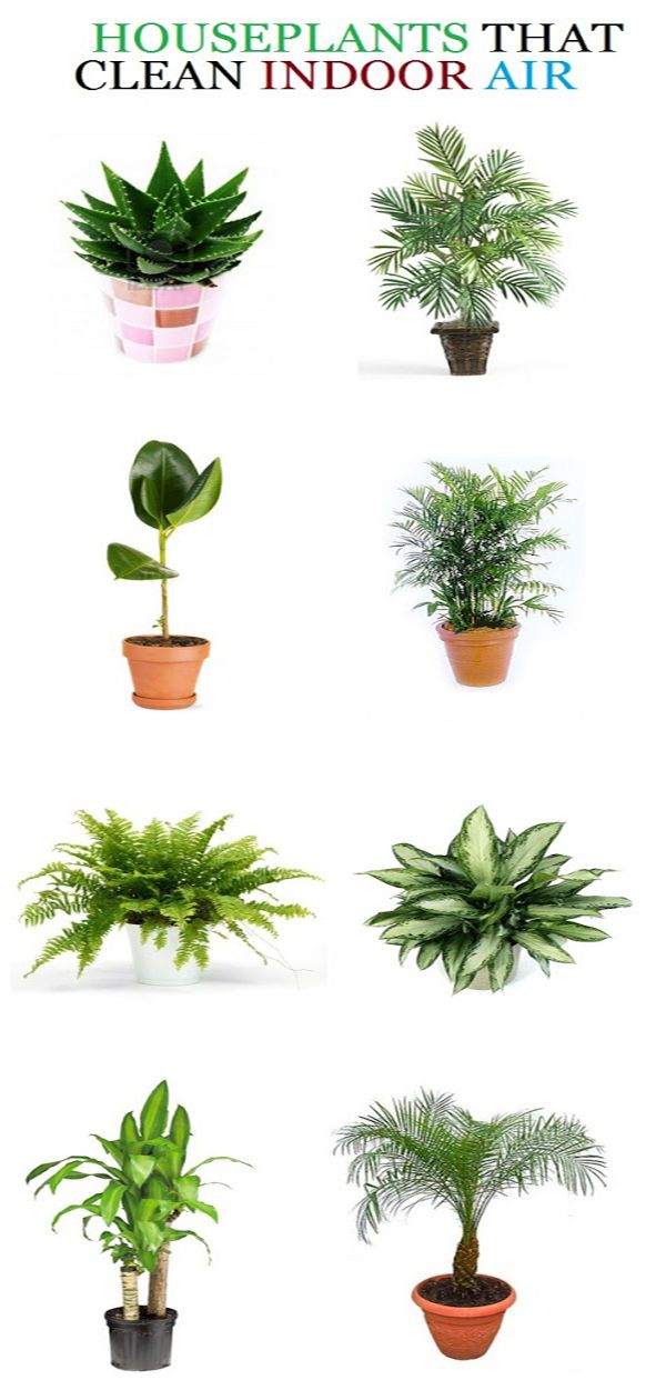 List of air purifying plants