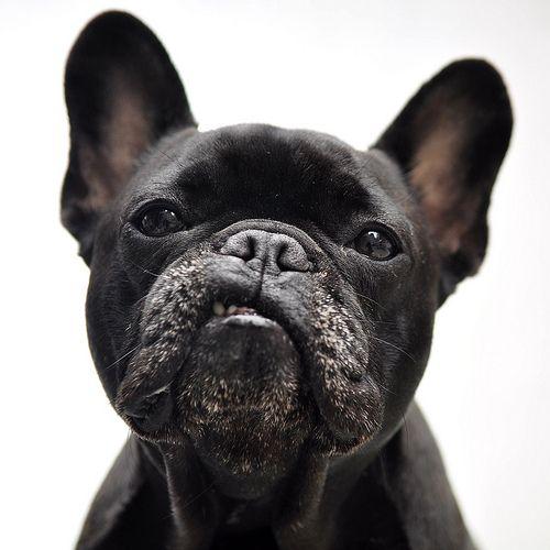 black_french_bulldog_portrait: Face, Animals, French Bulldogs, Pets, Frenchbulldog, Puppy, Tough Guy, Friend