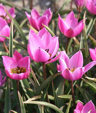 Humilis Helena Tulip Seeds and Plants, Flowering Bulbs at Burpee.com