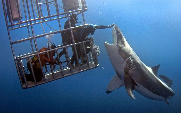Great bite, shark! A diver reaches out of a cage to give a great white shark a stroke on the snout off the coast of Guadalupe Island, Mexico