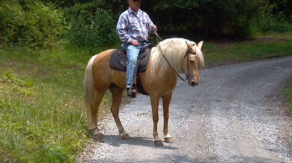 palomino gelding twh horse - $2800 (Greensburg, KY)