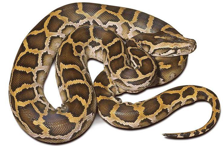 burmese python - Google Search