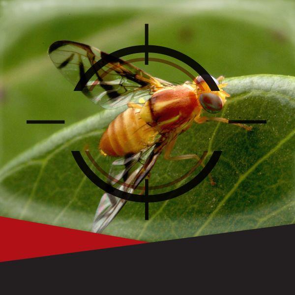 As moscas-das-frutas são consideradas as principais pragas da fruticultura gaúcha. Uma fêmea adulta é suficiente para causar danos nos pomares. Leia a matéria completa em: http://combatzika.com.br/sistema-de-alerta-contra-moscas-das-frutas/
