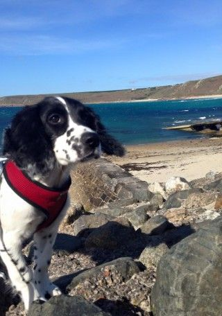 Dog friendly Cornwall ~ read our top tips for where to take your pampered pooch when holidaying in Cornwall.