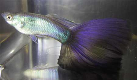 118 best images about guppies on pinterest freshwater for Purple freshwater fish