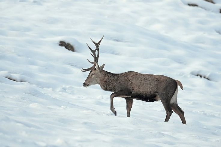 winter hirsch rothirsch stier hirsch steinbock deer pinterest rothirsch. Black Bedroom Furniture Sets. Home Design Ideas