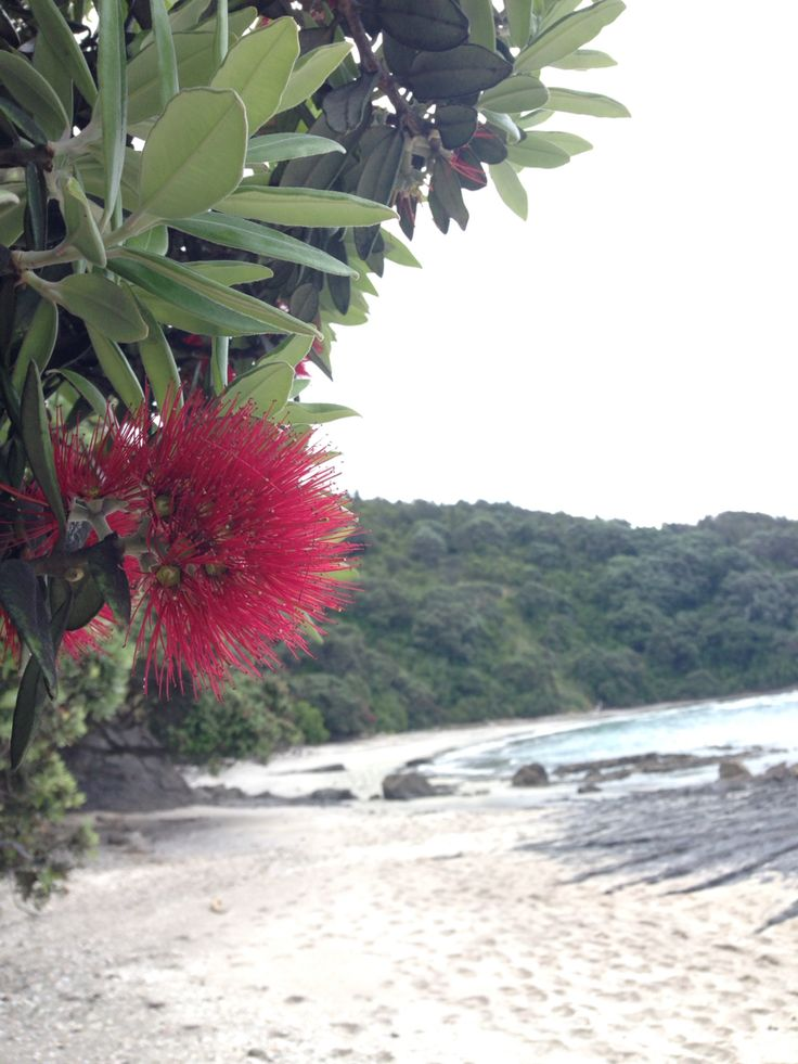 Pohutukawa trees in bloom means christmas time at Otarawairere Beach