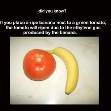 Did you know? A ripe banana next to a a green tomato helps to ripen the tomato  • www.furmanos.com