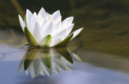 """As a lotus flower is born in water, grows in water and rises out of water to stand above it unsoiled, so I, born in the world, raised in the world having overcome the world, live unsoiled by the world"" Hindu Prince Gautama Siddharta"