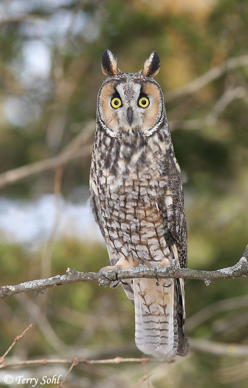 owls | Owls and more Owls | The Human Footprint